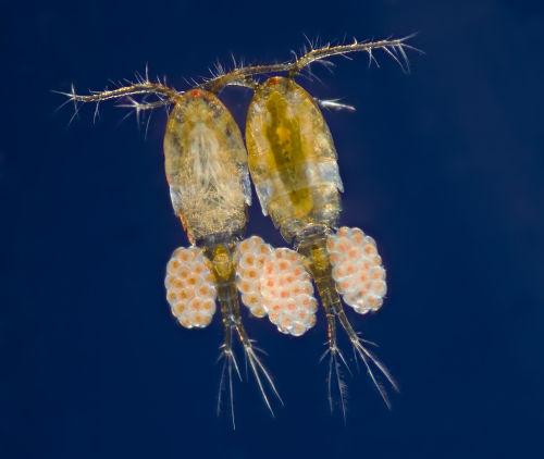 O zooplâncton é formado por organismos microscópicos heterotróficos.