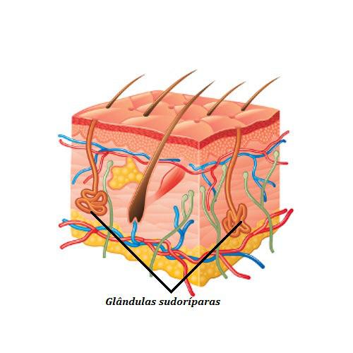 Observe o esquema da glândula sudorípara na pele
