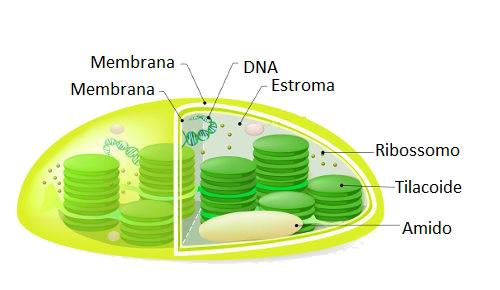 Observe a estrutura básica de um cloroplasto