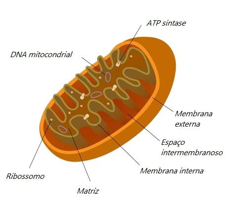 Observe a estrutura de uma mitocôndria