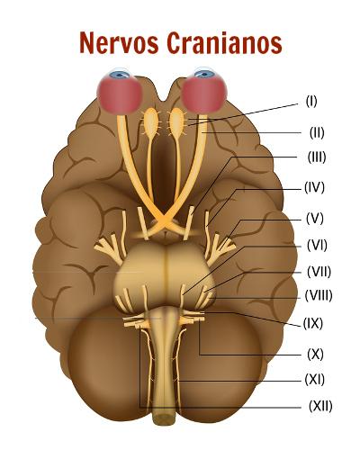 Observe na imagem os doze nervos cranianos