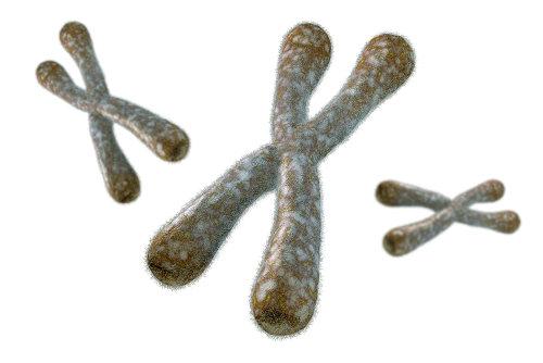 Os cromossomos carregam os genes, sequências de DNA responsáveis pelas nossas características