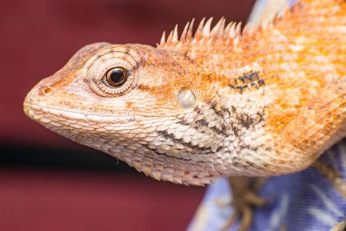 Os lagartos são répteis classificados como escamados