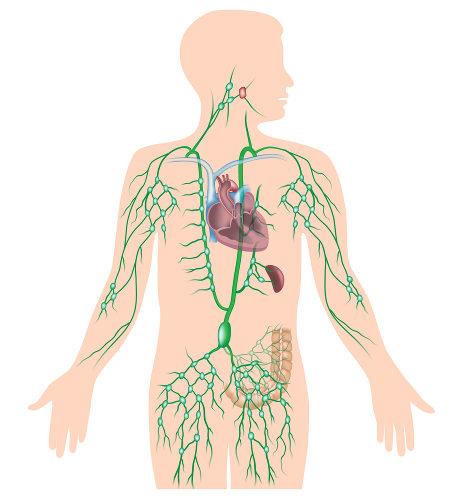 Os linfonodos estão dispostos no trajeto dos vasos linfáticos.