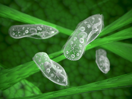 Os paramécios são exemplos de protozoários que se locomovem por cílios