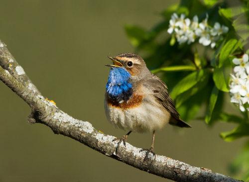 Os pássaros são animais pertencentes ao Filo Chordata