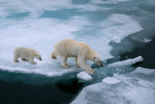 Os ursos polares são um exemplo de espécie afetada pelo aquecimento global