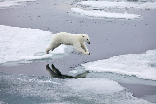 Os ursos polares têm apresentado com frequência episódios de canibalismo