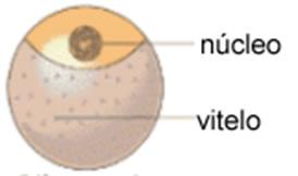 A segmentação do ovo telolécito é parcial e discoidal