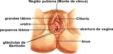 Imagem ilustrando a vulva no sistema genital feminino