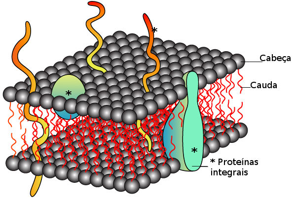 Representação esquemática de uma membrana segundo o modelo proposto por Singer e Nicolson