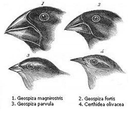 Darwin observou essas espécies para elaborar a teoria da seleção natural.