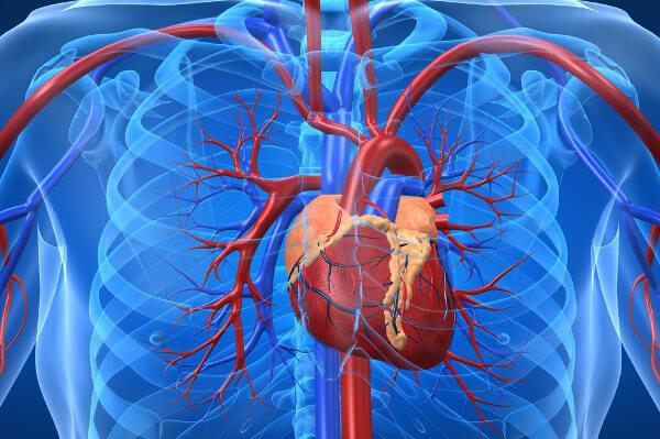 O sistema cardiovascular diz respeito ao sistema formado pelo coração e vasos sanguíneos.
