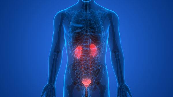 O sistema urinário possui órgãos que garantem a formação, armazenamento e eliminação da urina.