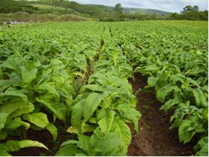 Plantação de tabaco