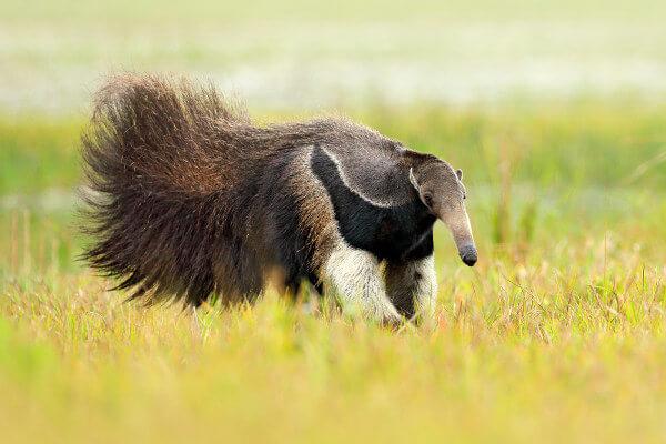 O tamanduá-bandeira é uma espécie encontrada no Cerrado.
