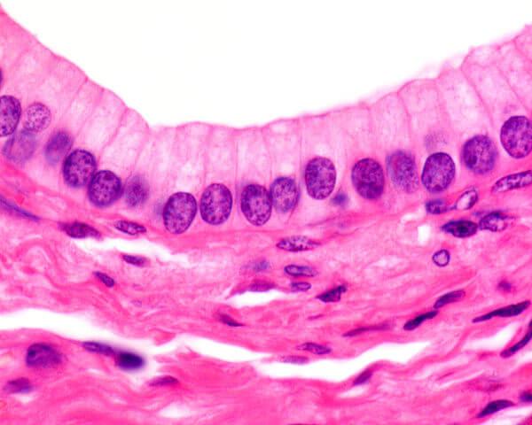 O tecido epitelial destaca-se pela presença de células bastante unidas.