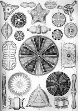 As variadas formas das diatomáceas