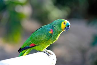 O papagaio-verdadeiro (Amazona aestiva) possui bico negro e tonalidade vermelha no encontro de suas asas.