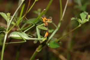 Dois artrópodes da classe insecta. Fotografia: Fabrício Oda