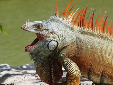 Iguana iguana: única espécie de iguana encontrada no Brasil