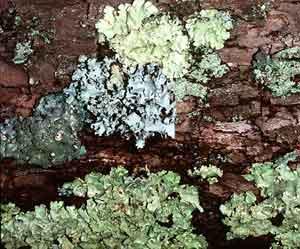 Mutualismo: associação de fungos e algas (liquens)