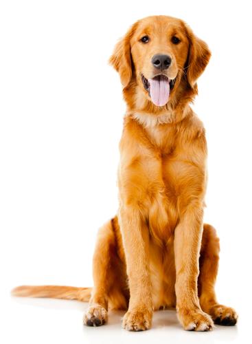 Há um grande número de raças caninas, mas todos os indivíduos pertencem à subespécie Canis lupus familiaris