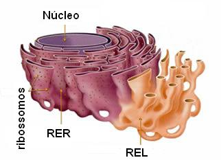O aspecto morfológico do retículo endoplasmático