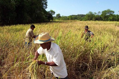 Agricultores realizando colheita de arroz