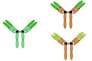 Representação esquemática de três anticorpos