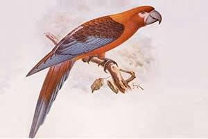 Ara tricolor: espécie cubana de Psittacidae