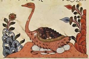 Avestruz-árabe: ave extinta no século XX.