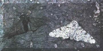 Seleção Natural aplicada às mariposas, Biston betularia