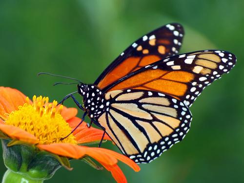 Borboleta (Ordem Lepidoptera, grupo Rhopalocera)