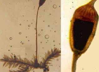 À esquerda: haste e cápsula do esporófito sobre o gametófito ramificado por folíolos. À direita: estrutura capsular ampliada