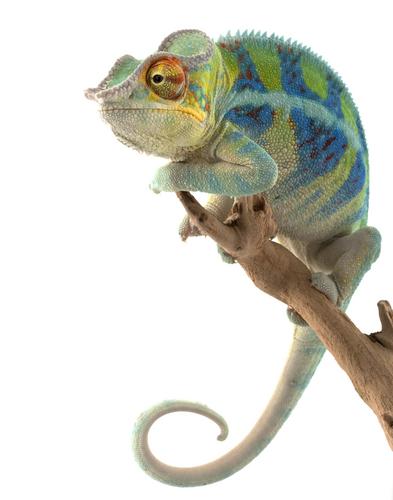 Camaleões são répteis pertencentes à Família Chamaeleonidae