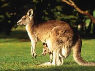 Filhote praticamente formado no interior da bolsa marsupial materna