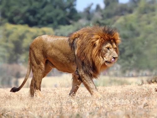 Os leões são animais carnívoros, possuem olfata e audição bem desenvolvidas o que facilita na captura de uma presa