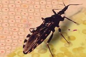 Barbeiro: vetor da doença de Chagas