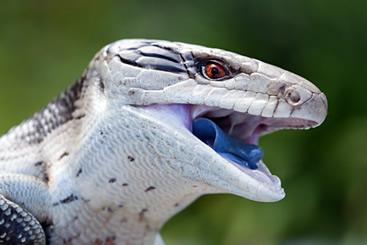 Lagarto-de-língua-azul (Tiliqua scincoides): animal onívoro