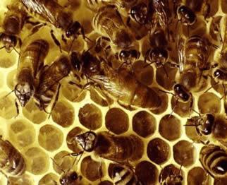 A produção de mel e o consumo humano