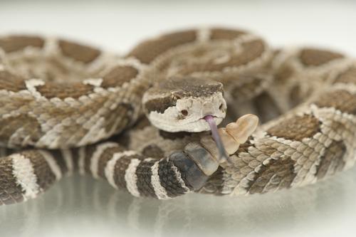 Cascavel: a serpente brasileira que causa o maior número de mortes
