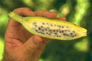 Musa balbisiana: espécie nativa de banana e suas sementes