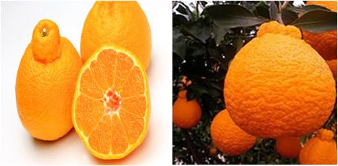 O dekopon é um fruto híbrido