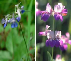 Gênero Collinsia: característica em epistasia (cor de flor azul e rosa)