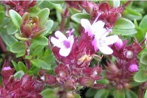 A floração está diretamente relacionada ao fotoperíodo.