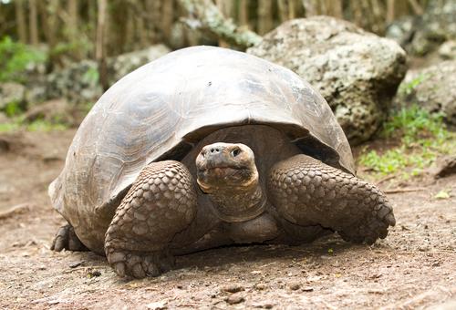 A tartaruga-de-galápagos é o animal que vive por mais tempo