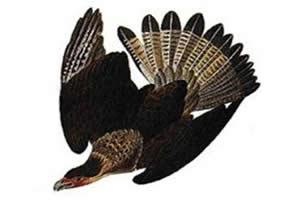Carcará-de-Guadalupe: ave cuja extinção se deu de forma trágica.
