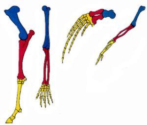 Pata dianteira de um equino, braço humano, nadadeira peitoral de um mamífero e asa de uma ave: homologias