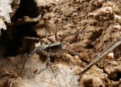 Aranha caranguejeira: espécie que não inocula veneno